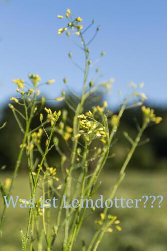 Leindotter-2web